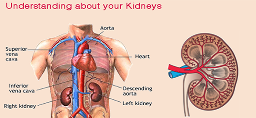 Understanding your kidneys and what they do